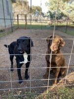Labrador Retriever Puppies for sale in Comfort, TX 78013, USA. price: NA
