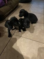 Labrador Retriever Puppies for sale in Santa Ana, CA 92704, USA. price: NA