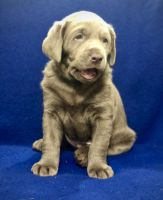 Labrador Retriever Puppies for sale in Ammon, ID, USA. price: NA