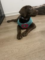 Labrador Retriever Puppies for sale in Mary Esther, FL, USA. price: NA