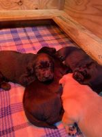 Labrador Retriever Puppies for sale in Beulaville, NC 28518, USA. price: NA