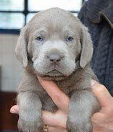 Labrador Retriever Puppies for sale in Houston, TX, USA. price: NA