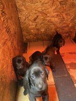 Labrador Retriever Puppies for sale in Edgewood, WA 98371, USA. price: NA