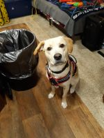 Labrador Retriever Puppies for sale in Henderson, TX, USA. price: NA