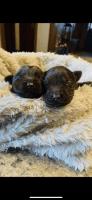 Labrador Retriever Puppies for sale in Kokomo, IN, USA. price: NA