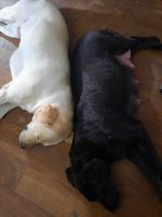 Labrador Retriever Puppies for sale in Nampa, ID, USA. price: NA
