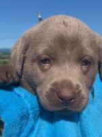Labrador Retriever Puppies for sale in Bridgewater, VA 22812, USA. price: NA