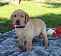 Labrador Retriever Puppies for sale in Perth Amboy, NJ, USA. price: NA
