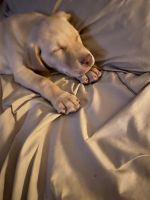 Labrador Retriever Puppies for sale in Plano, TX, USA. price: NA