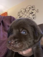 Labrador Retriever Puppies for sale in Thornton, CO, USA. price: NA