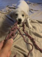Labrador Retriever Puppies for sale in Marble Falls, TX 78654, USA. price: NA