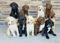 Labrador Retriever Puppies for sale in Delhi, MN 56283, USA. price: NA