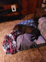 Labrador Retriever Puppies for sale in Dayton, OH, USA. price: NA