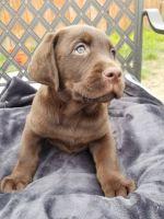 Labrador Retriever Puppies for sale in La Habra Heights, CA, USA. price: NA