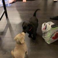 Labrador Retriever Puppies for sale in Ontario, CA, USA. price: NA
