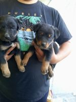 Labrador Retriever Puppies for sale in Santa Ana, CA 92706, USA. price: NA