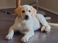 Labrador Retriever Puppies for sale in Grapevine, TX, USA. price: NA