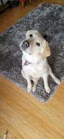 Labrador Retriever Puppies for sale in Palos Hills, IL 60465, USA. price: NA