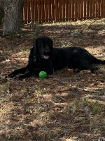 Labrador Retriever Puppies for sale in Spring Hill, FL 34609, USA. price: NA