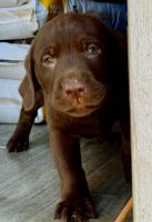 Labrador Retriever Puppies for sale in Spotsylvania County, VA, USA. price: NA