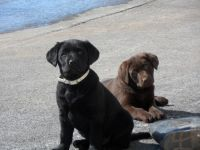 Labrador Retriever Puppies for sale in Ronks, PA 17572, USA. price: NA