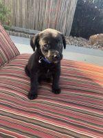 Labrador Retriever Puppies for sale in San Marcos, CA, USA. price: NA