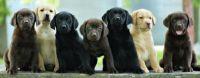 Labrador Retriever Puppies for sale in Dallas, TX 75247, USA. price: NA