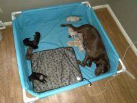 Labrador Retriever Puppies for sale in Rock Hill, SC 29732, USA. price: NA