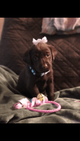 Labrador Retriever Puppies for sale in Dinwiddie, VA 23841, USA. price: NA