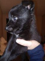 Labrador Retriever Puppies for sale in Mesa, AZ 85210, USA. price: NA