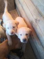 Labrador Retriever Puppies for sale in Gate City, VA, USA. price: NA