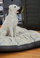 Labrador Retriever Puppies for sale in Mt Prospect, IL 60056, USA. price: NA