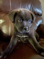 Labrador Retriever Puppies for sale in San Antonio, TX 78213, USA. price: NA
