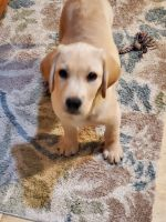 Labrador Retriever Puppies for sale in Woodbridge Township, NJ, USA. price: NA