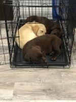 Labrador Retriever Puppies for sale in Pompano Beach, FL 33064, USA. price: NA