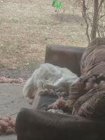 Labrador Retriever Puppies for sale in Okmulgee, OK 74447, USA. price: NA