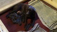 Labrador Retriever Puppies for sale in Central Florida, FL, USA. price: NA