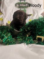 Labrador Retriever Puppies for sale in Beverly Hills, CA, USA. price: NA