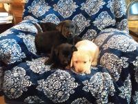 Labrador Retriever Puppies for sale in Tustin, MI 49688, USA. price: NA