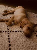 Labrador Retriever Puppies for sale in Tustin, CA 92782, USA. price: NA