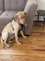 Labrador Retriever Puppies for sale in New Hyde Park, NY, USA. price: NA