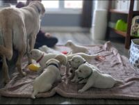Labrador Retriever Puppies for sale in Utica, NY, USA. price: NA