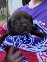 Labrador Retriever Puppies for sale in Lufkin, TX, USA. price: NA