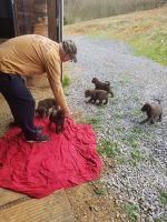 Labrador Retriever Puppies for sale in Newport, TN 37821, USA. price: NA