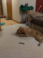 Labrador Retriever Puppies for sale in Brooklyn Center, MN 55430, USA. price: NA