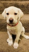 Labrador Retriever Puppies for sale in Orem, UT, USA. price: NA