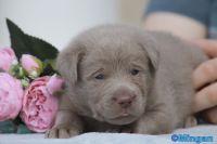 Labrador Retriever Puppies for sale in Punta Gorda, FL, USA. price: NA