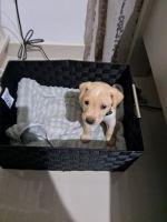 Labrador Retriever Puppies for sale in Calexico, CA, USA. price: NA