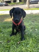Labrador Retriever Puppies for sale in Los Angeles, CA 90034, USA. price: NA