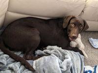 Labrador Retriever Puppies for sale in Palmetto, FL, USA. price: NA